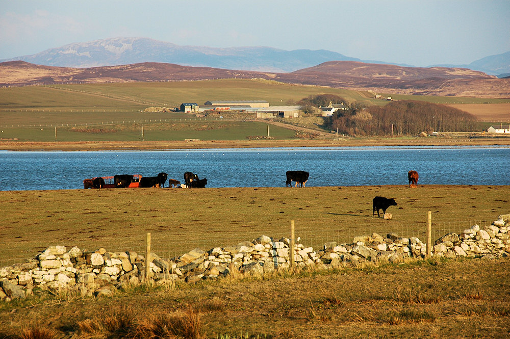 Picture of cattle in a field next to a sea loch, a farm on the other side of the loch