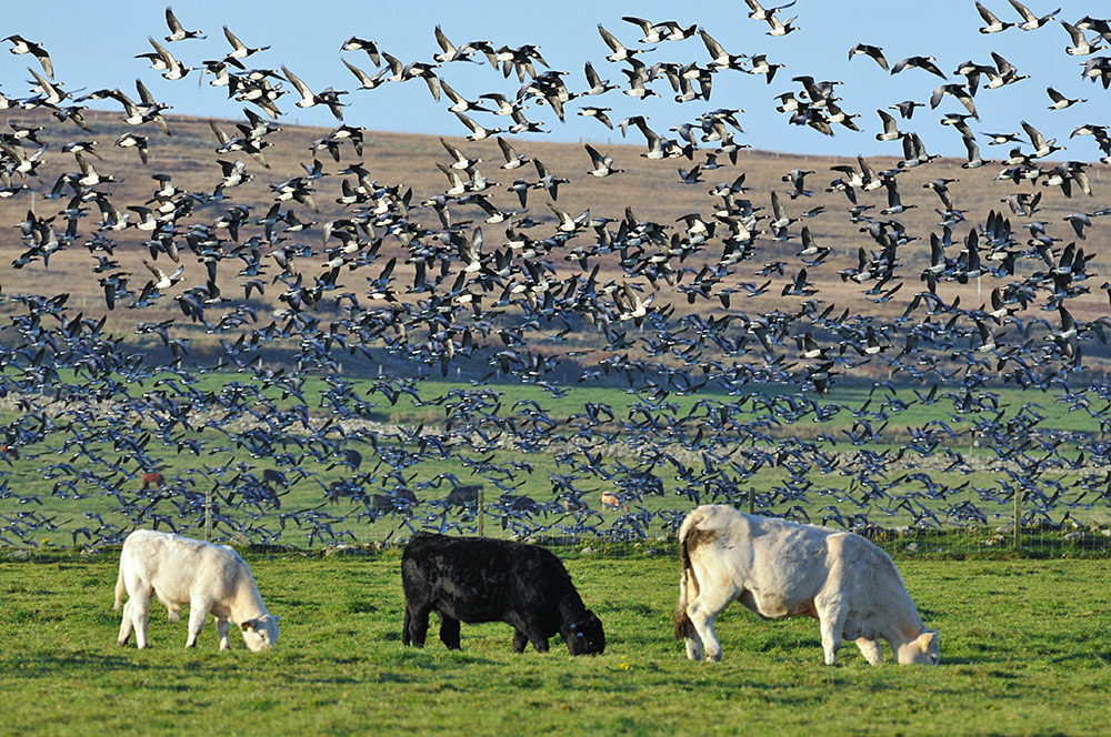 Picture of lots of Barnacle Geese lifting off above three grazing cows