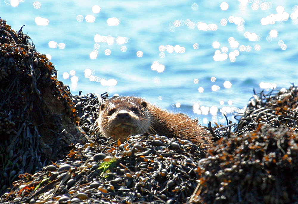 Picture of an Otter in kelp on a shore