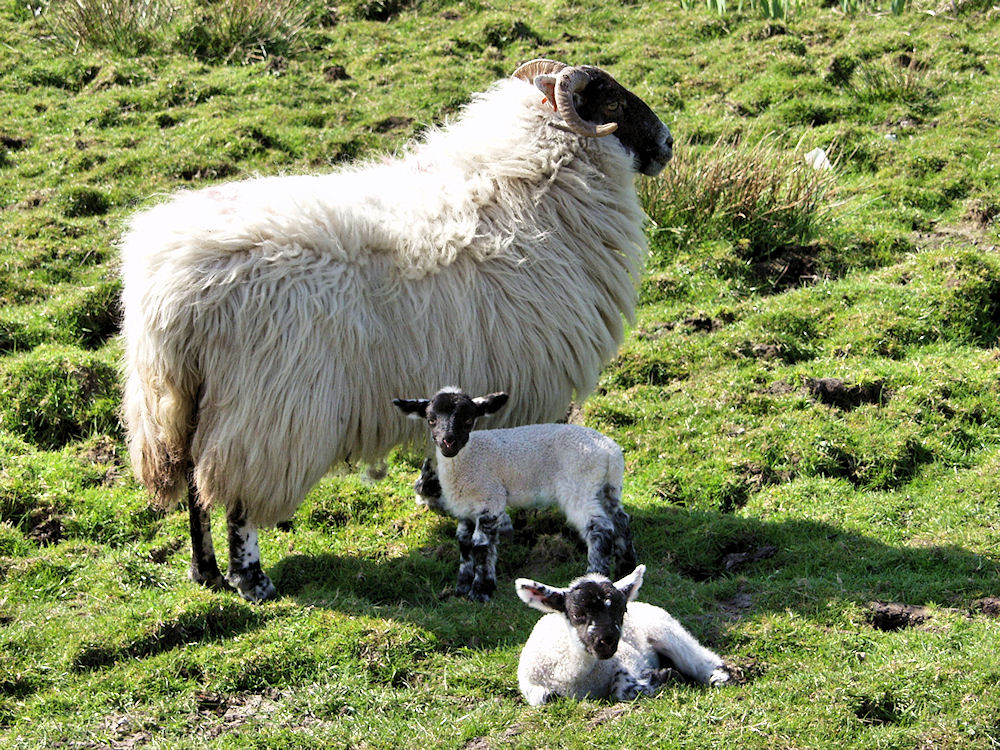 Picture of a sheep with two young lambs