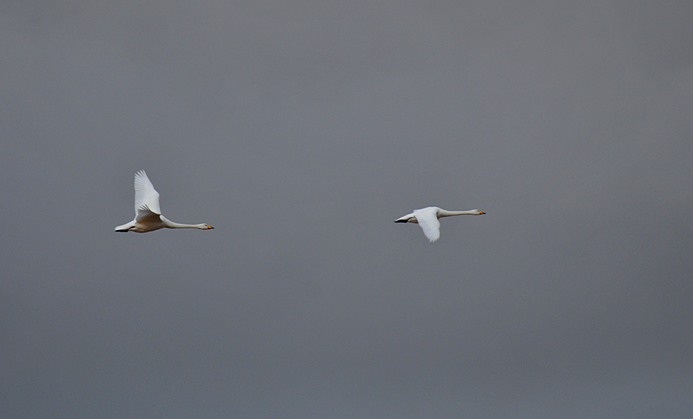Picture of two Whooper Swans in flight seen against a dark sky