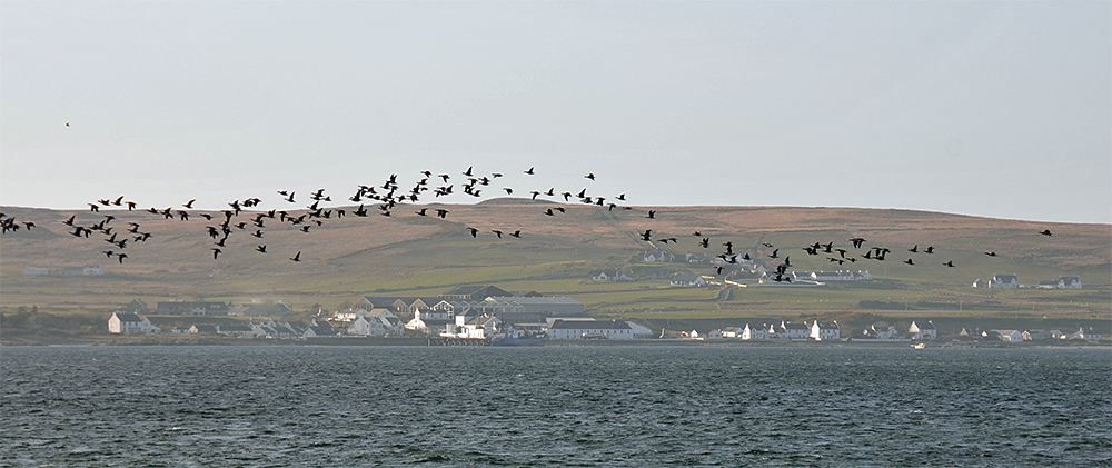 Picture of a coastal village with a distillery seen across a sea loch, Barnacle Geese flying past
