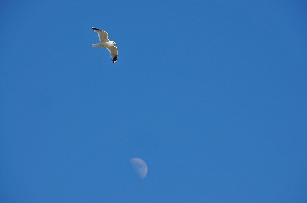 Picture of a Gull in flight, the Moon in the background