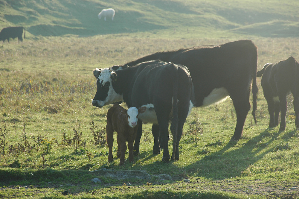 Picture of a calf standing next to its mother and other cattle on a hazy morning