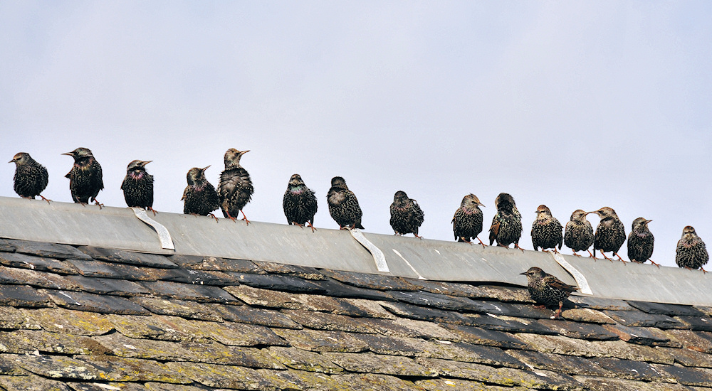 Picture of starlings sitting on the top of a roof