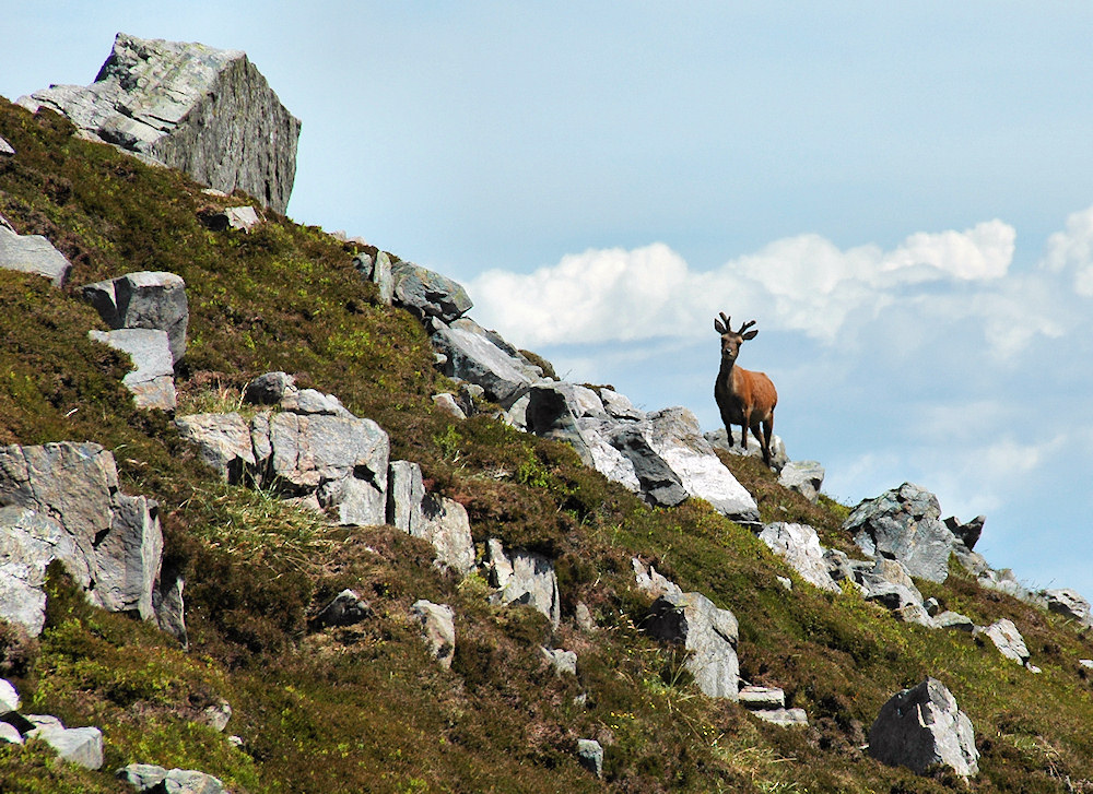 Picture of a deer on a hillside with heather and boulders