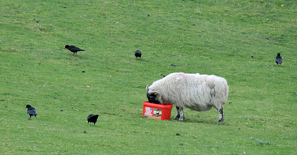 Picture of a sheep eating from a bucket, five choughs on the grass around it