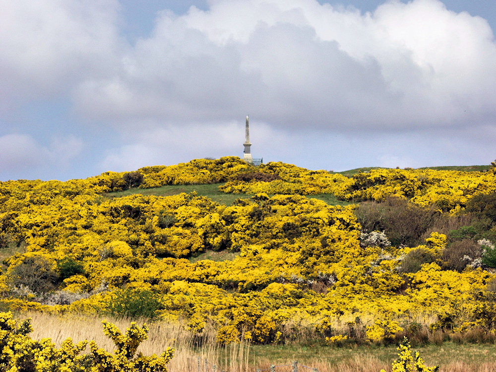 Picture of a hillside covered in gorse in bloom, a monument on the top