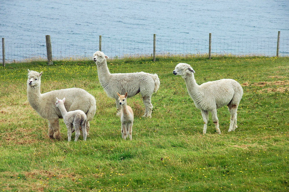 Picture of five Llamas (two of which are young ones) in a field next to a sea loch