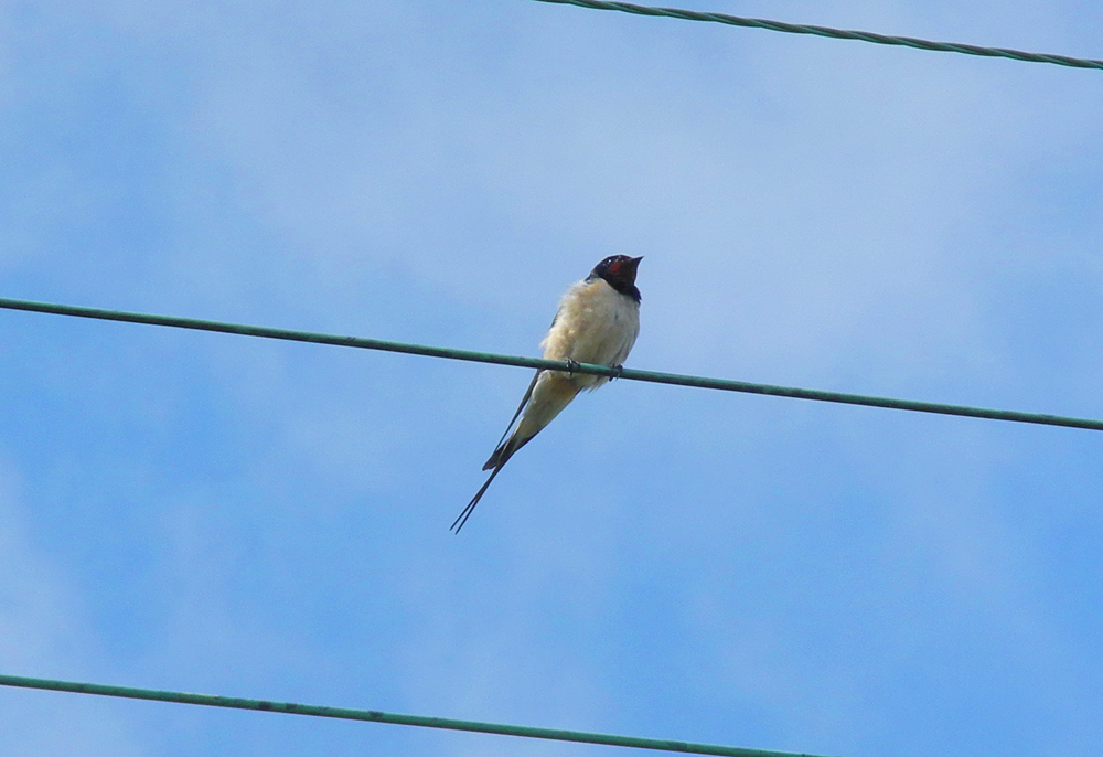 Picture of a Swallow sitting on a wire