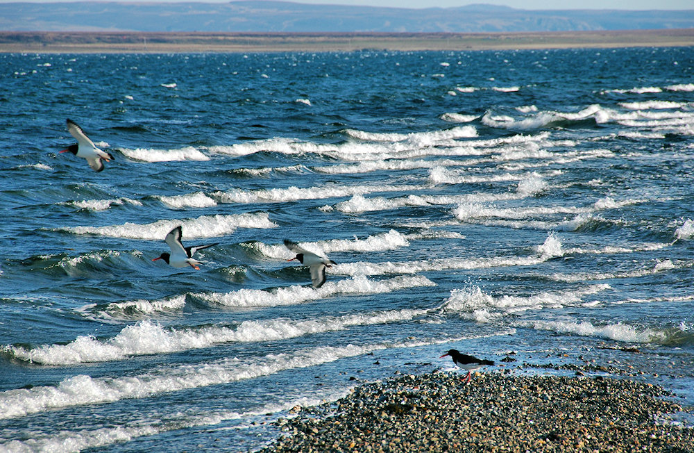 Picture of waves running on to a pebble shore, also 4 Oystercatchers