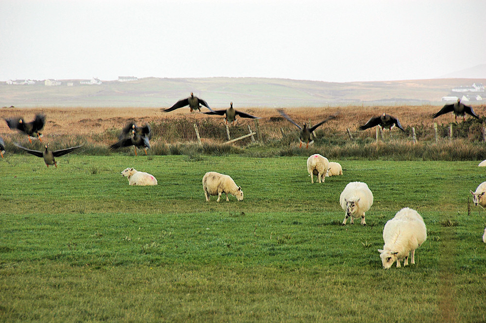 Picture of sheep grazing in a field with some geese landing. A settlement in the background