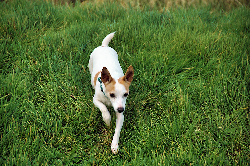 Picture of a dog running through grass