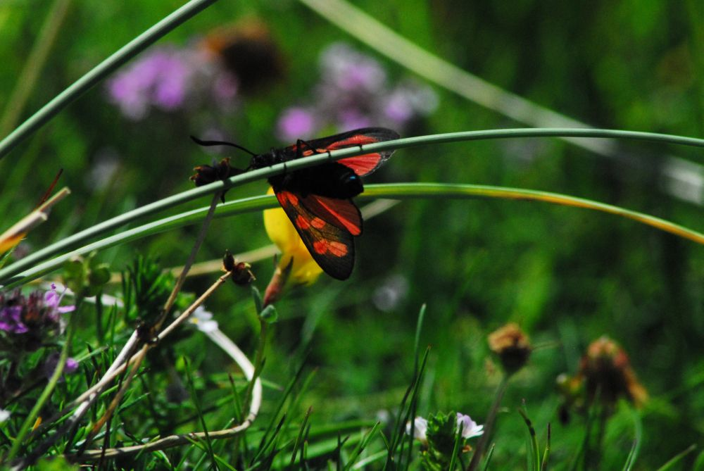 Picture of a Six Spotted Burnet Moth in high grass