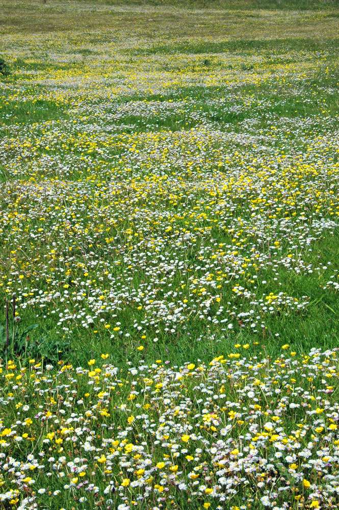 Picture of machair full of flowers