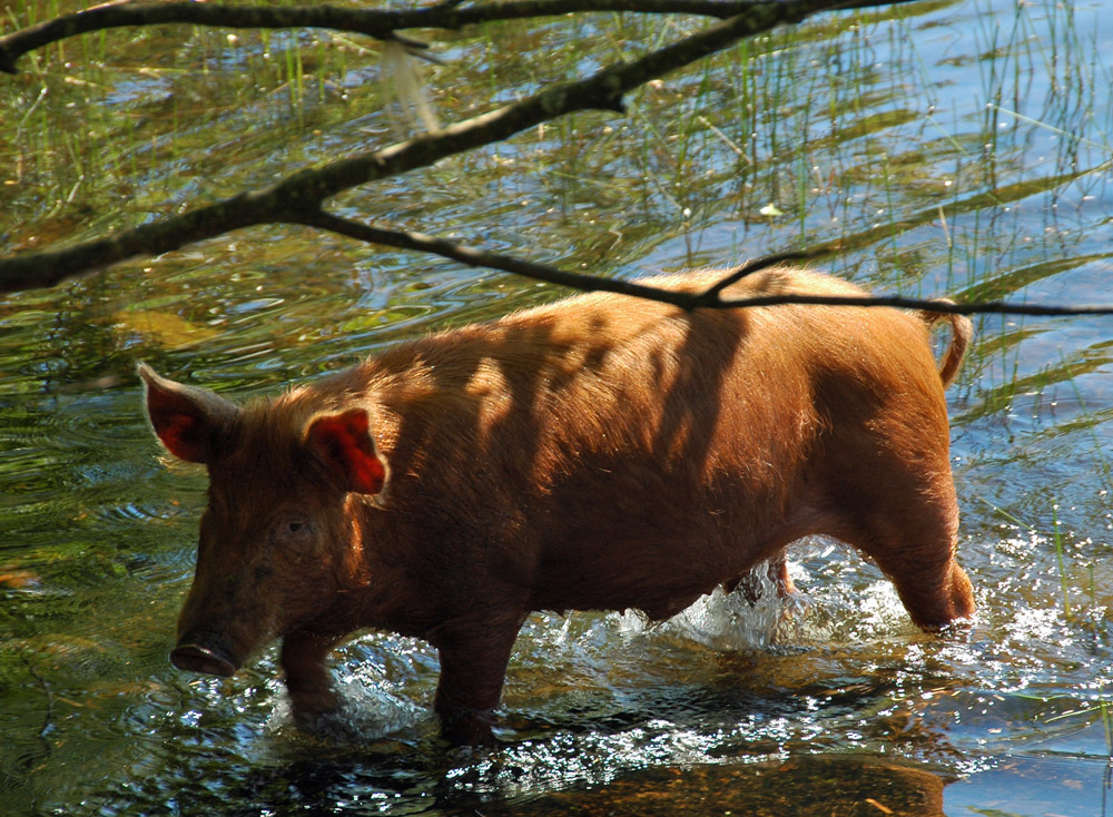 Picture of a pig walking through shallow water