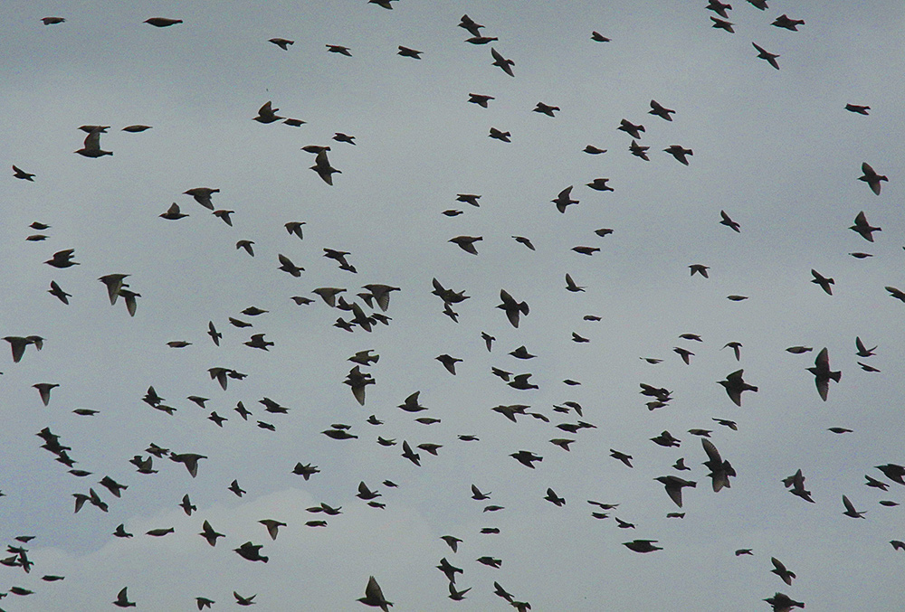Picture of starlings in flight under grey clouds