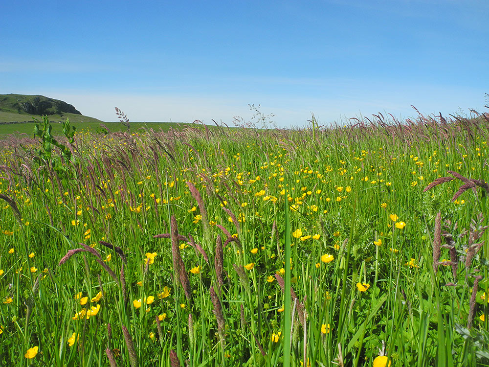 Picture of a field with high grass and flowers under a bright blue sky