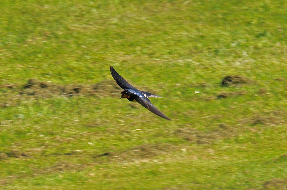 Picture of a Swallow flying low over grass