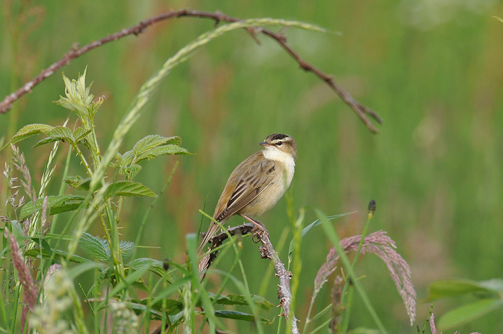 Picture of a Sedge Warbler in high grass