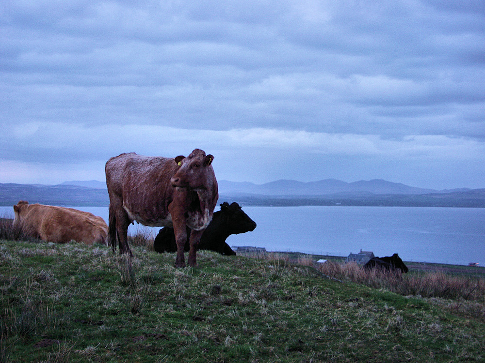 Picture of a few cows in a field above a sea loch on a cloudy evening