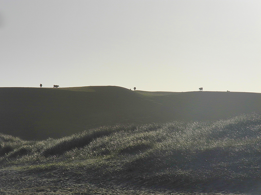 Picture of low and high dunes in the morning haze, cows can be seen on the top of the dunes