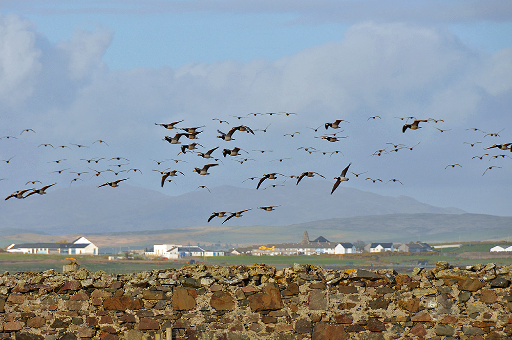 Picture of a flock of Barnacle Geese in flight, seen across an old stone wall