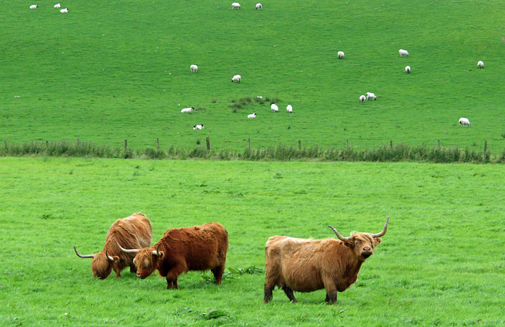 Picture of three Highland Cattle in a field, sheep in a neighbouring field