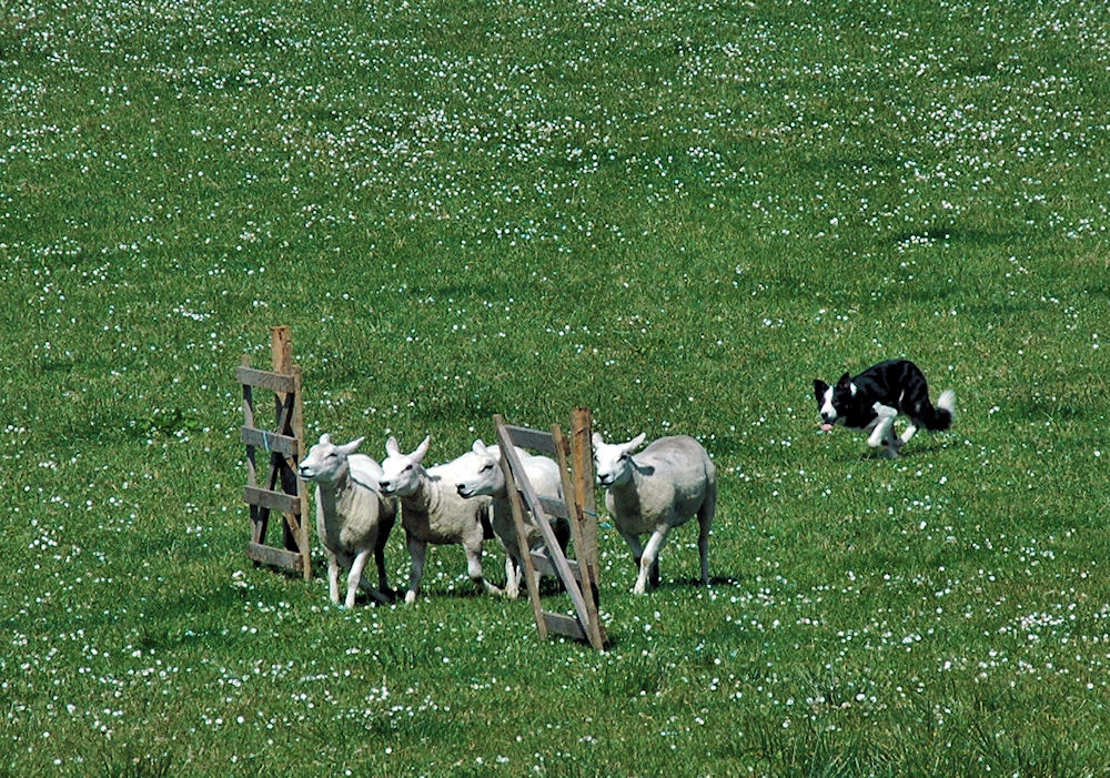 Picture of a sheepdog directing four sheep through a gate