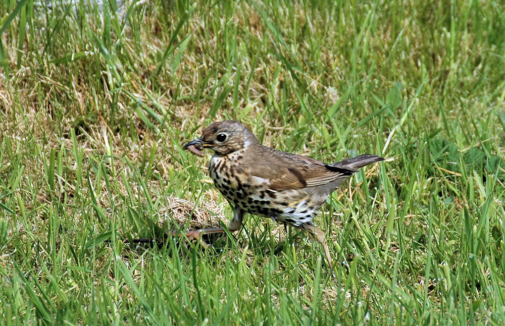 Picture of a Songthrush running through grass with worms in its beak