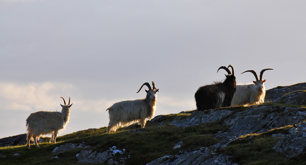 Picture of four wild goats on a hillside in the evening light