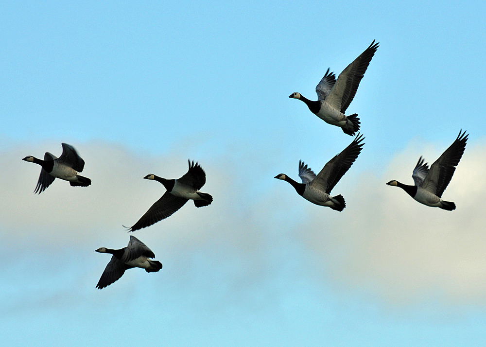 Picture of six Barnacle Geese flying overhead