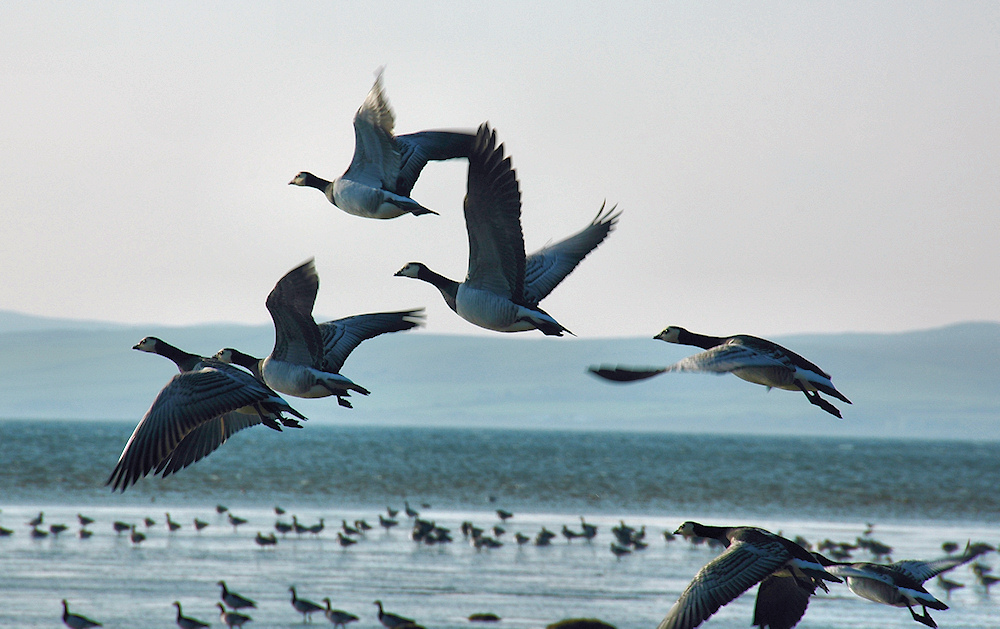 Picture of a few Barnacle Geese lifting off from a shore