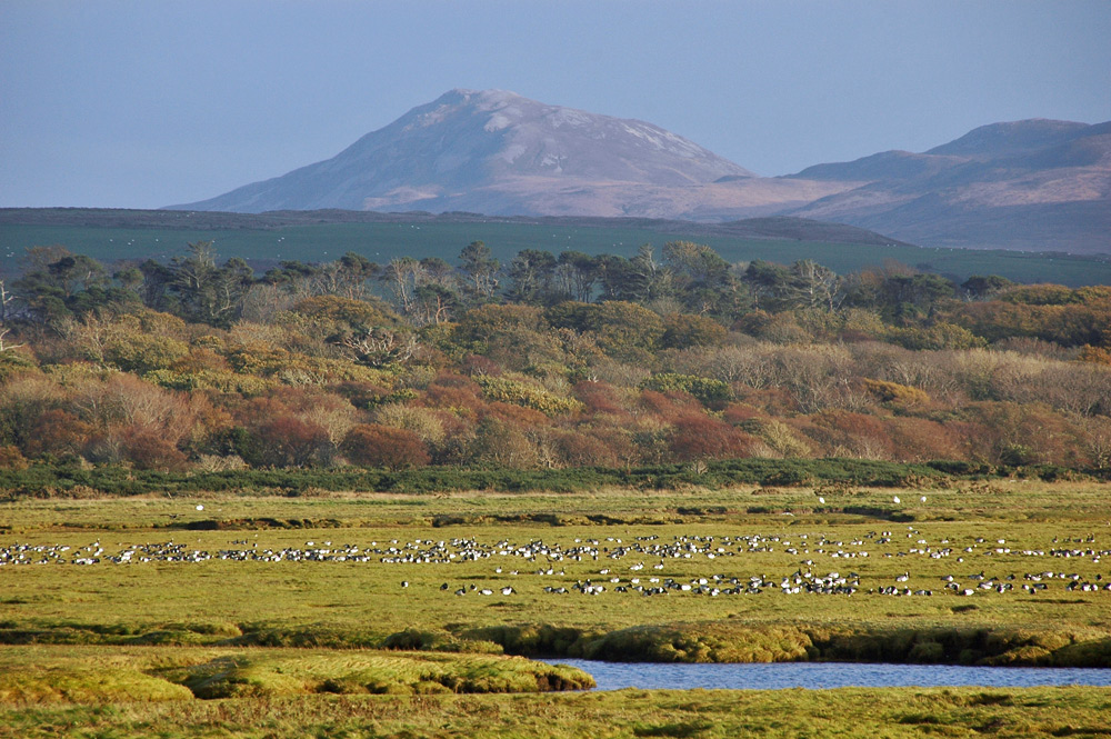 Picture of Barnacle Geese resting on marshland, trees in autumn colours behind it