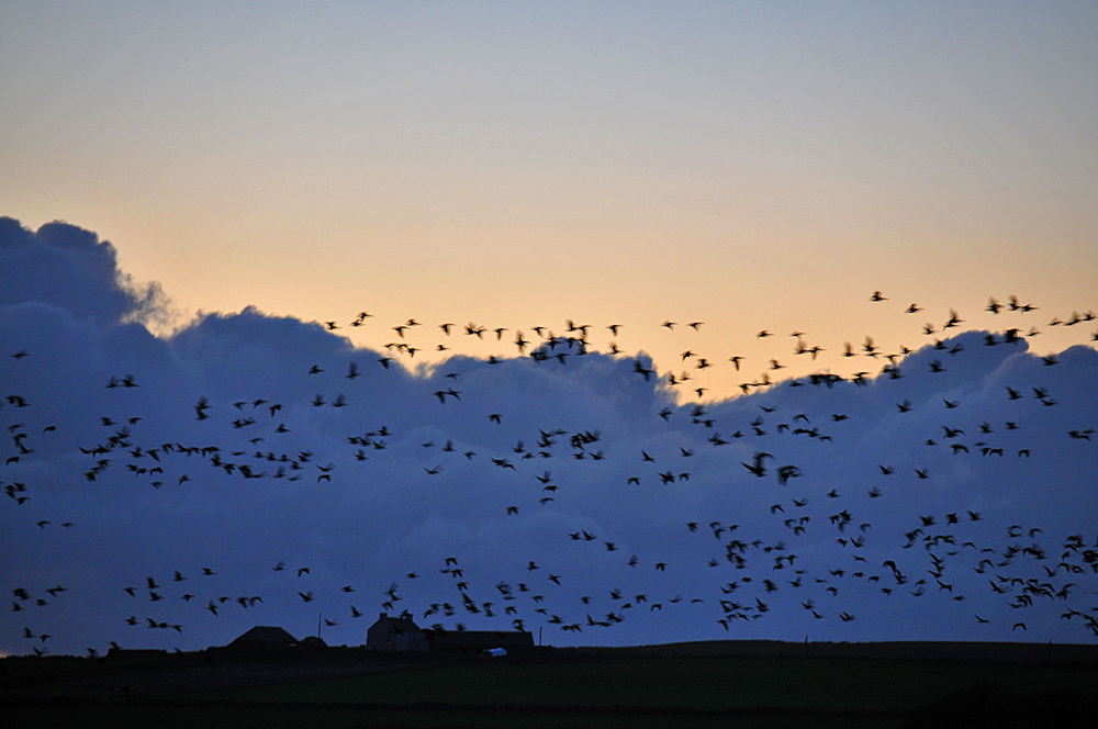 Picture of a large number of Barnacle Geese against an evening sky