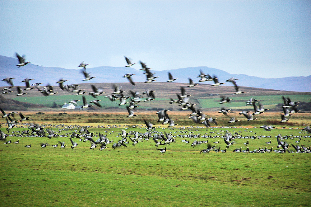 Picture of Barnacle Geese lifting off from a field
