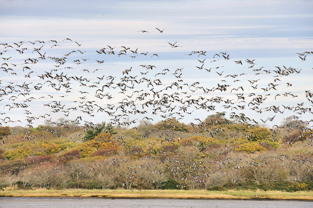 Picture of a large flock of Barnacle Geese in flight in front of trees in autumn colours