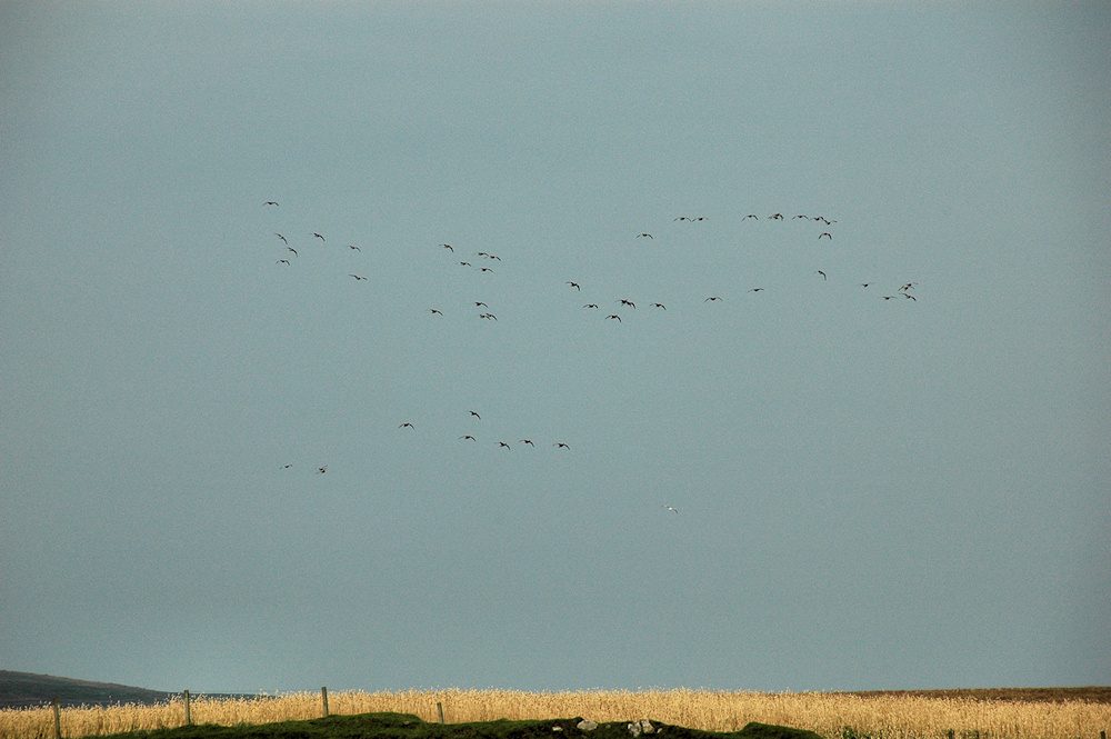 Picture of a small group of Barnacle Geese flying above a field