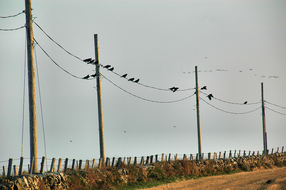Picture of a number of Rooks sitting on telephone lines, also some geese in the background