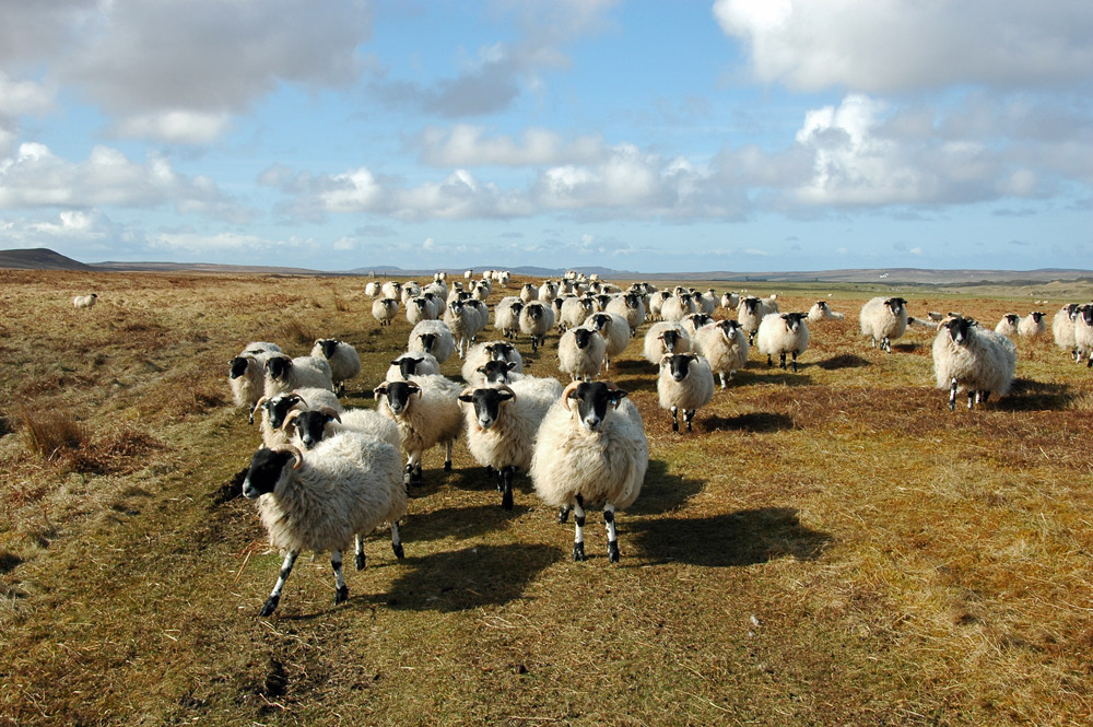 Picture of a large herd of sheep in a remote landscape