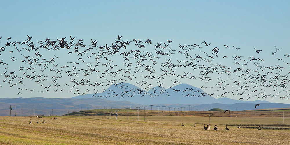 Picture of a large number of geese in flight, over a field, three mountains in the background