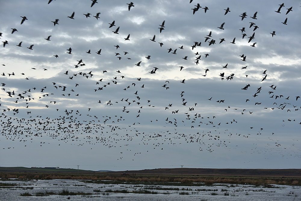 Picture of a large number of Barnacle Geese arriving at nature reserve