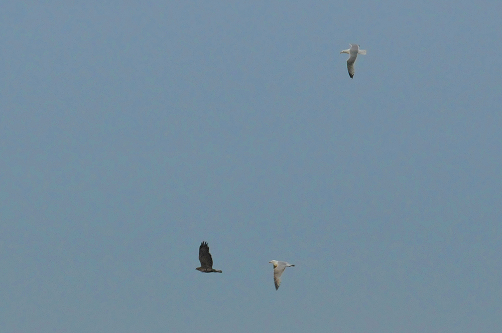 Picture of a Buzzard being chased by two Gulls