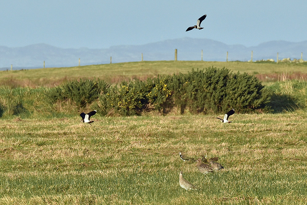 Picture of Curlew and Lapwing in a field
