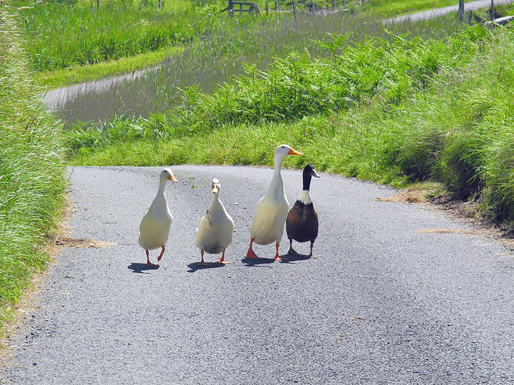 Picture of four geese walking on a road