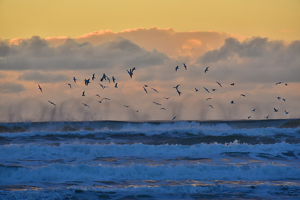 Picture of Gulls flying above breaking waves with spray blown back at sunset