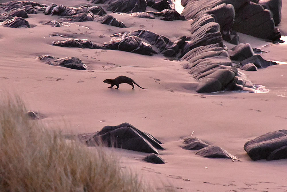 Picture of an Otter running across a beach in the fading light of the gloaming