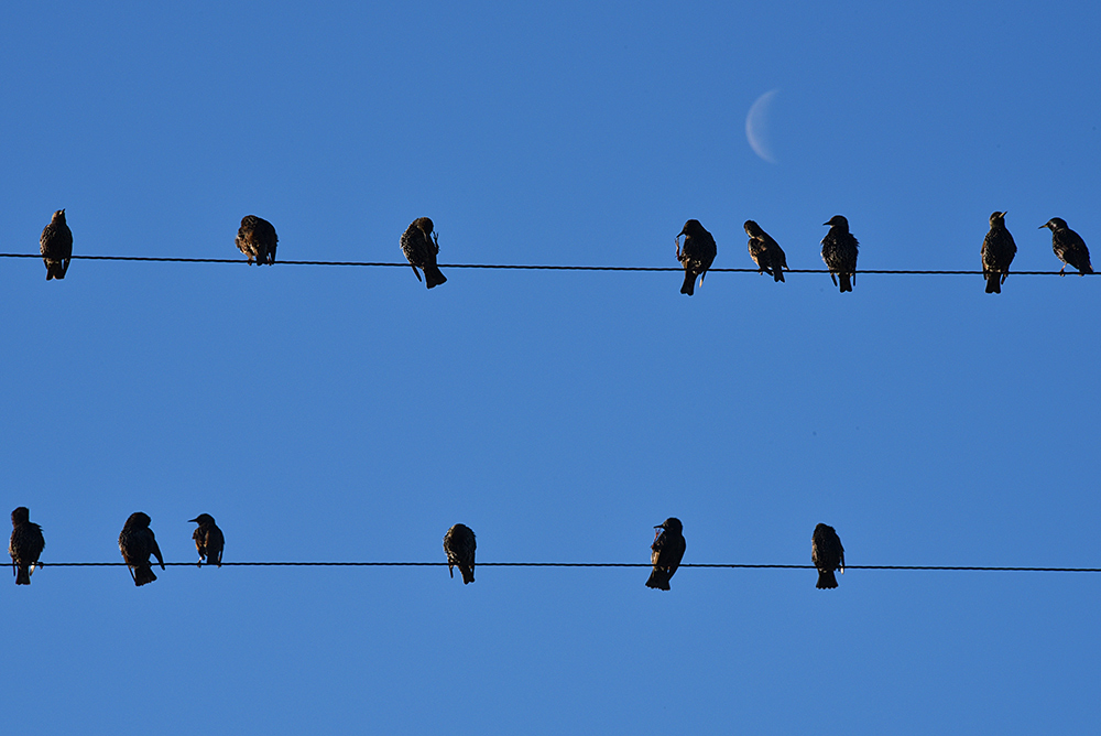 Picture of a few Starlings sitting on telephone wires, the Moon visible in the background
