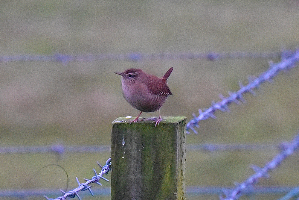 Picture of a Wren on a fencepost