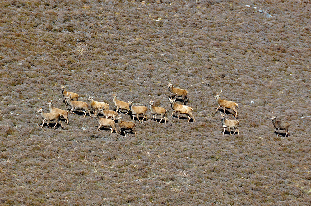 Picture of a herd of deer on the side of a hill